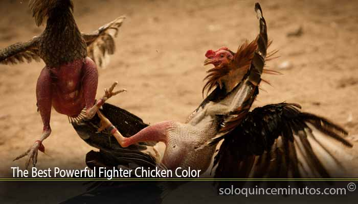 The Best Powerful Fighter Chicken Color